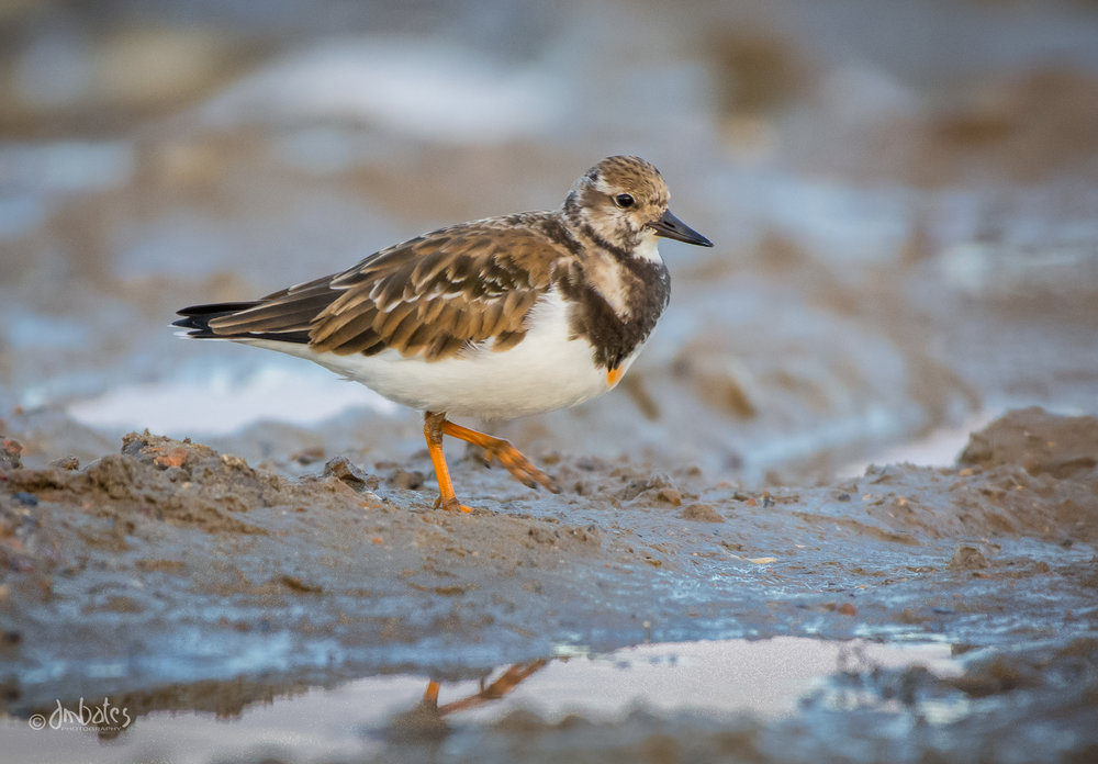 Ruddy Turnstone, November