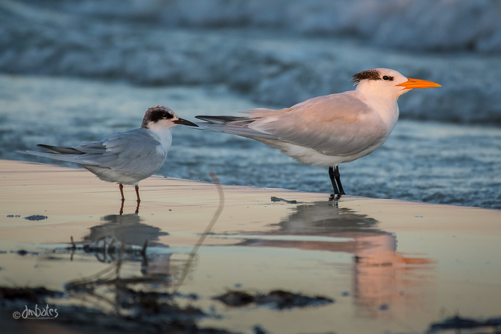 Forster's and Royal Terns, November