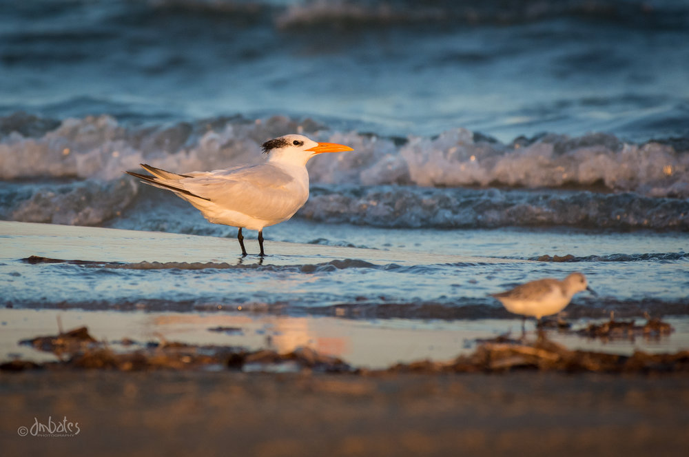 Royal Tern, November