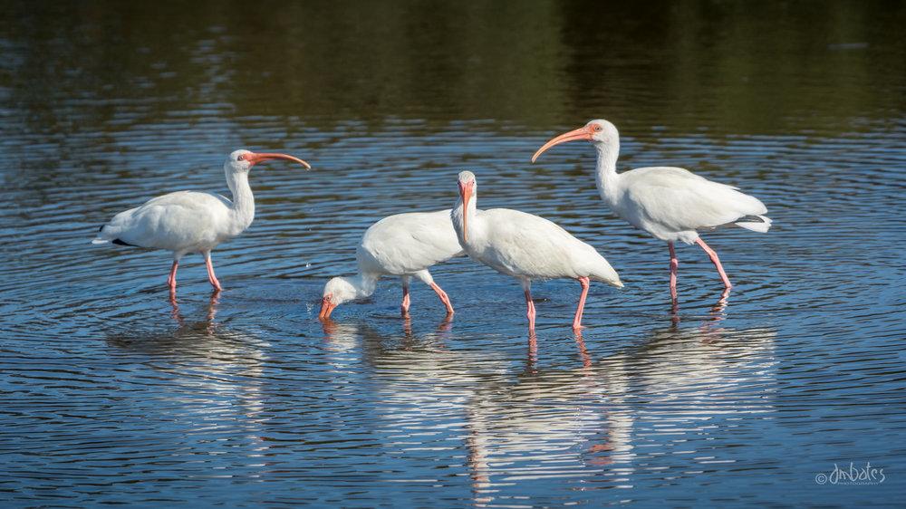 White Ibis, November