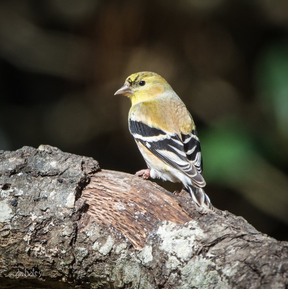 American Goldfinch, Winter