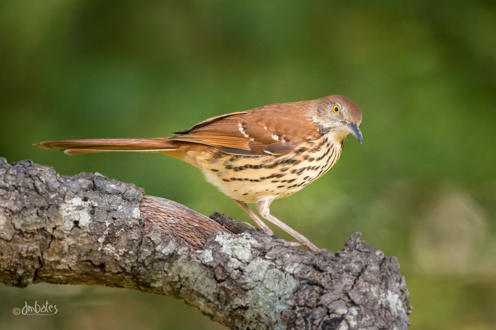Brown Thrasher, February