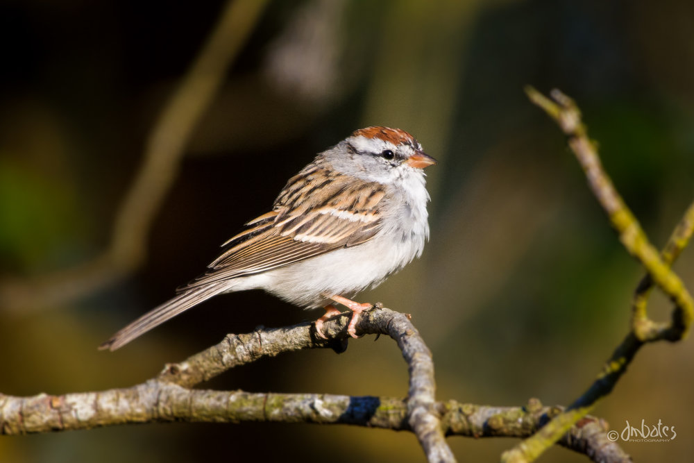Chipping Sparrow, February