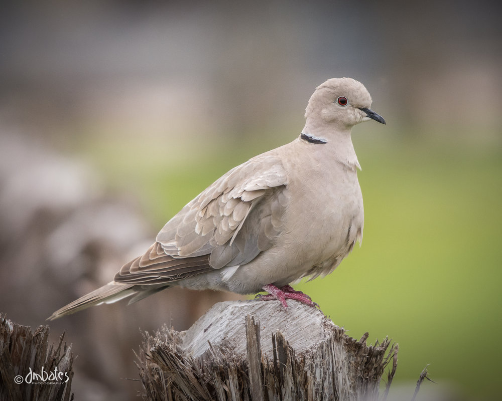 Eurasian Collared Dove, March