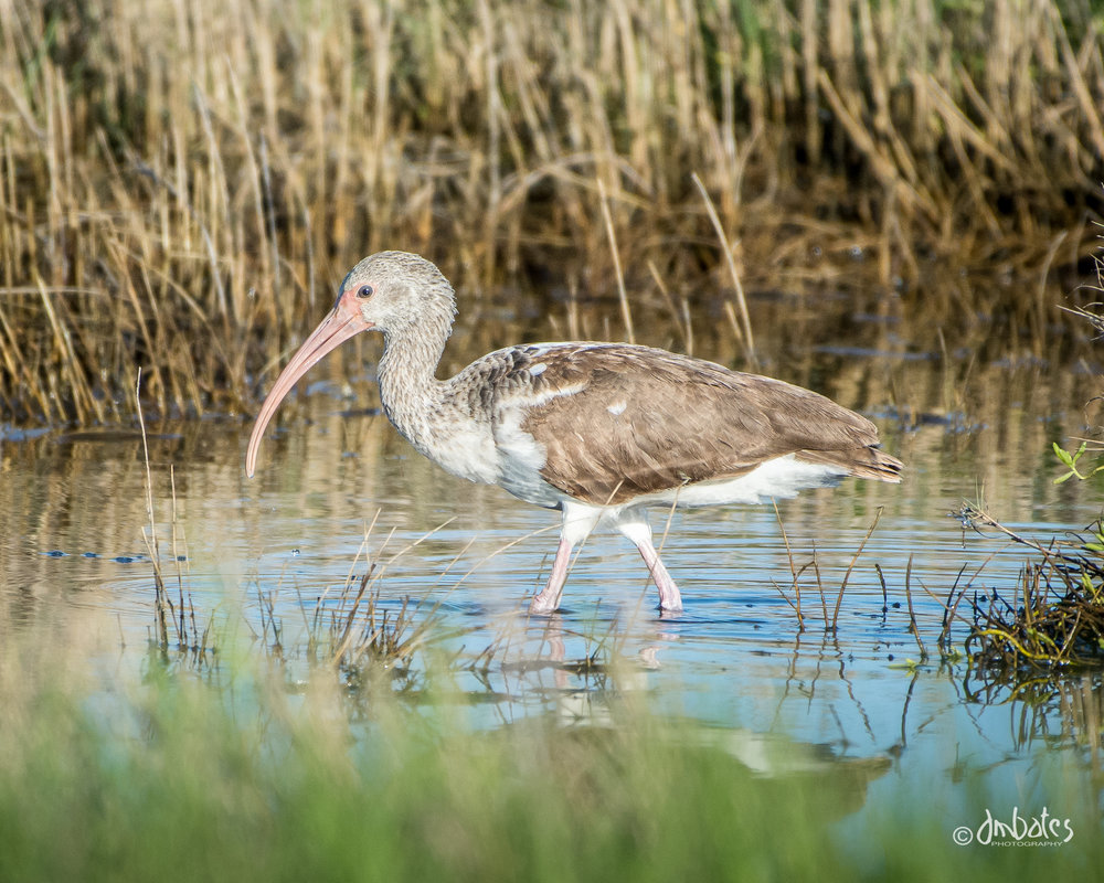 Immature White Ibis, March