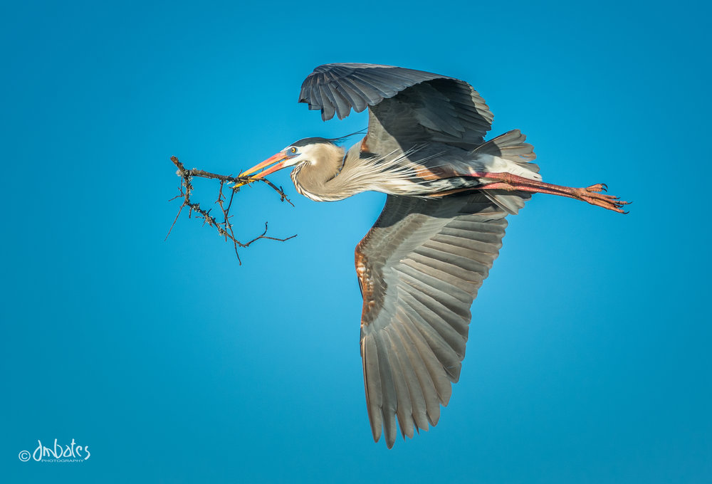 Great Blue Heron, March