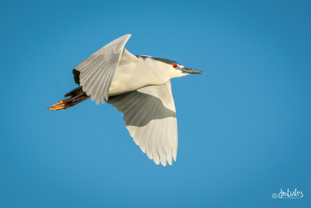 Black-crowned Night Heron, March