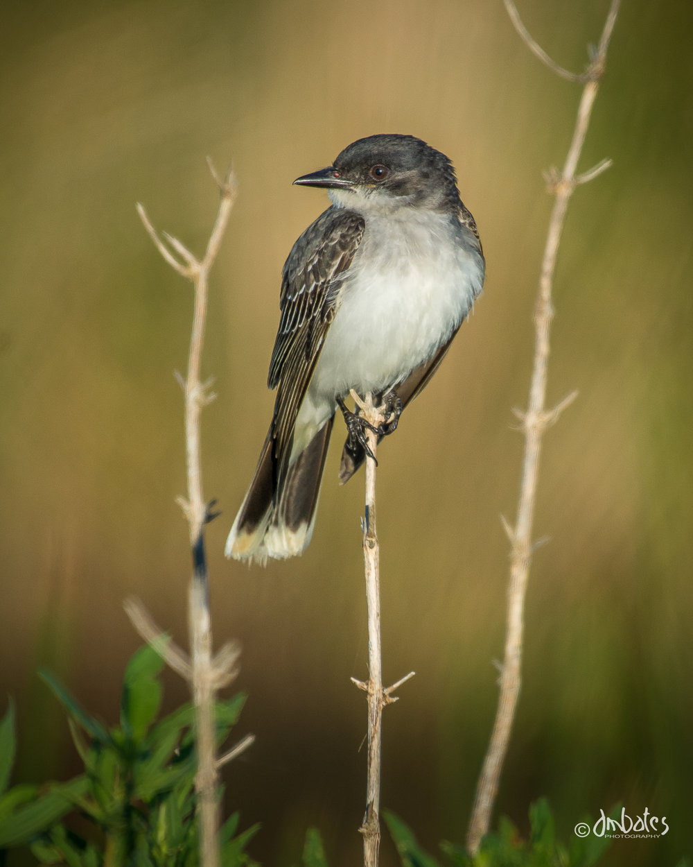 Eastern Kingbird