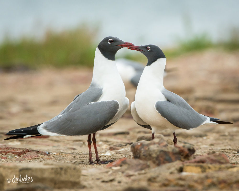 Laughing Gulls displaying