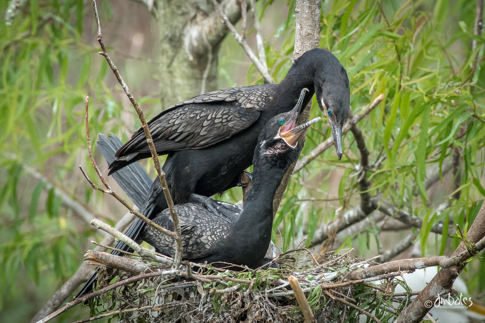 Neotropic Cormorants mating