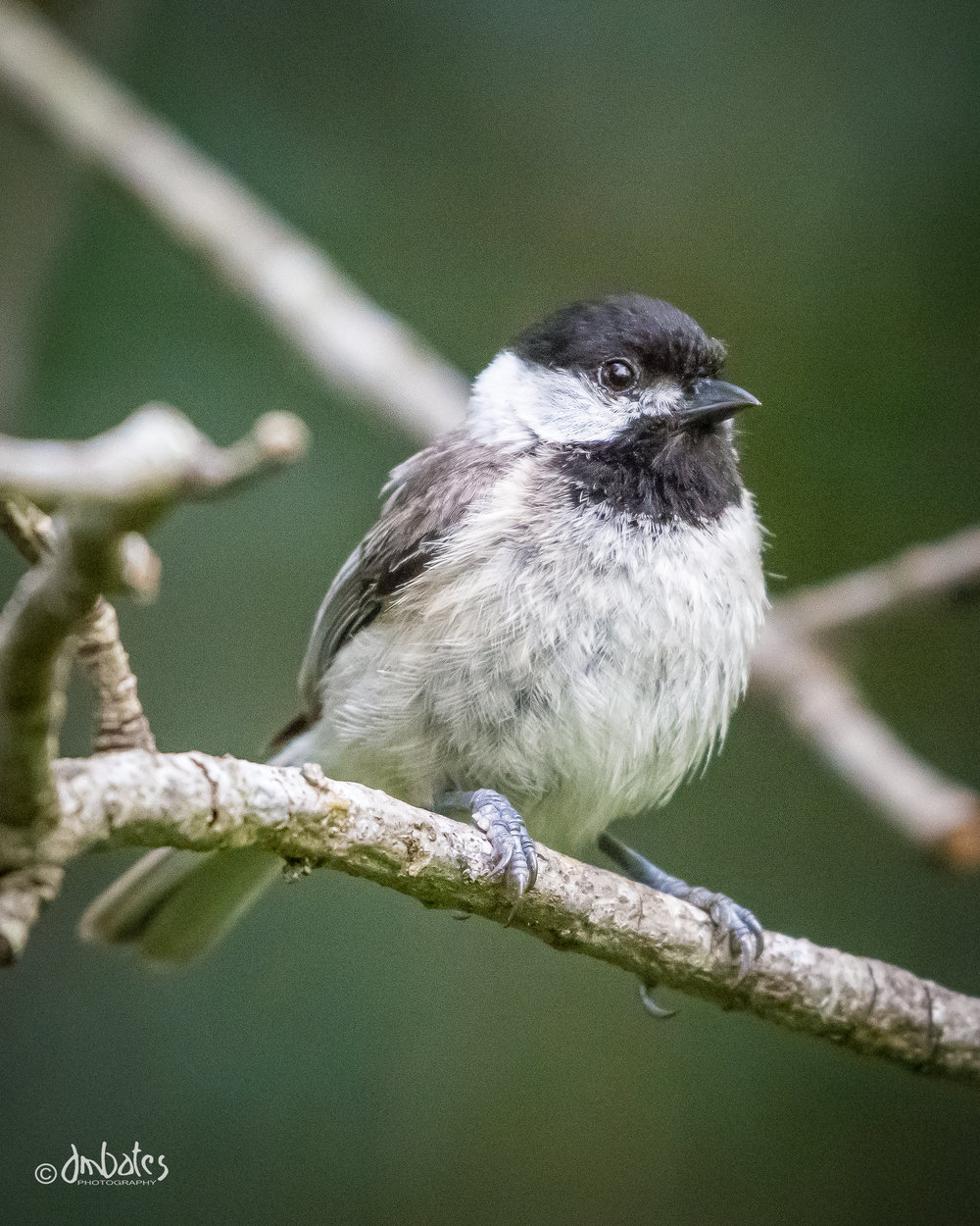Carolina Chickadee, May