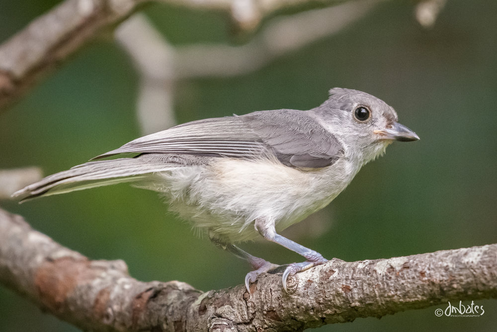 Tufted Titmouse, May