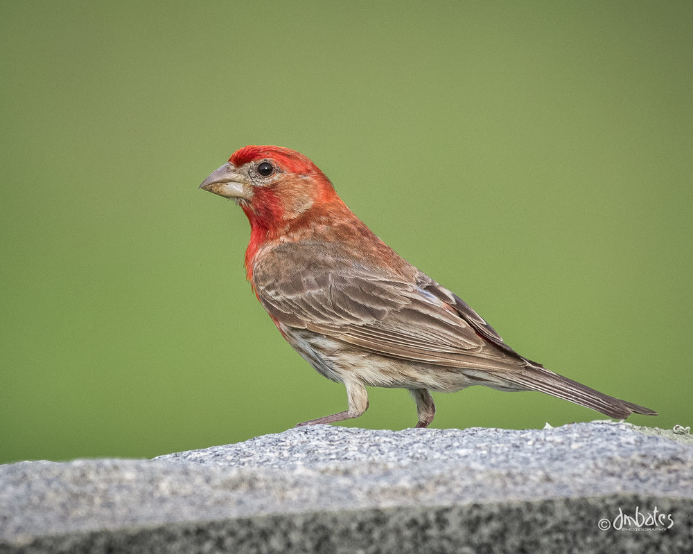 House Finch, May