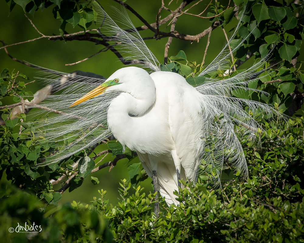 Great Egret in breeding plumage at Smith Oaks Rookery, High Island, TX