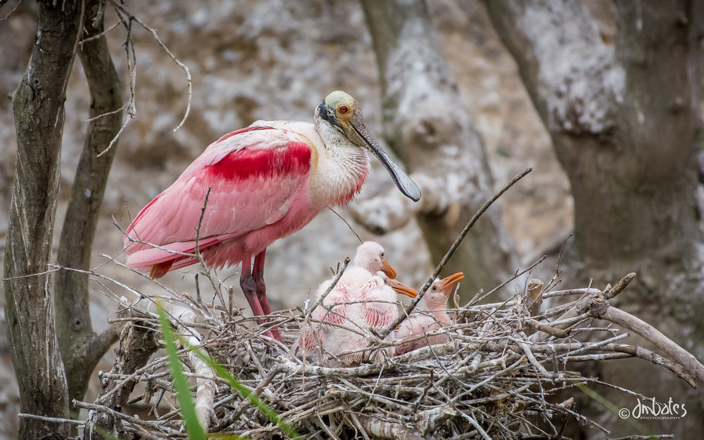 Roseate Spoonbill and chicks, April