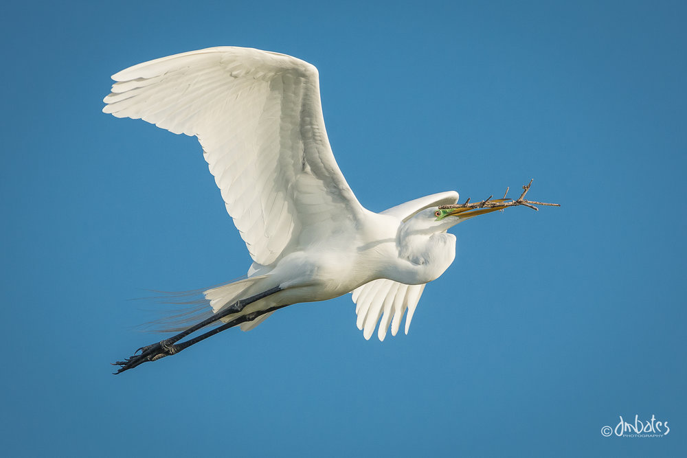 Great Egret with nesting materials at the rookery at Rockport, TX.