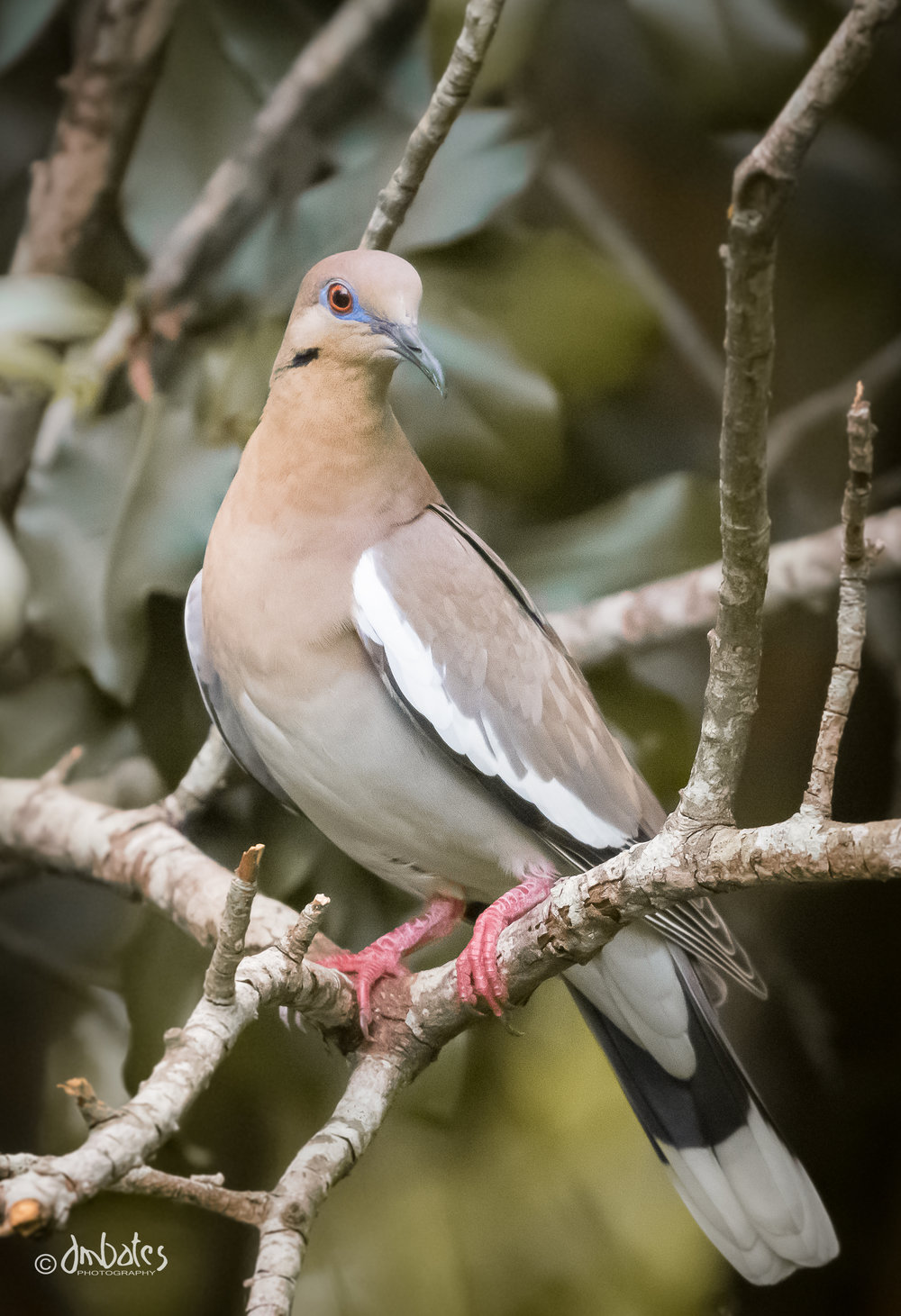 White-winged Dove, June