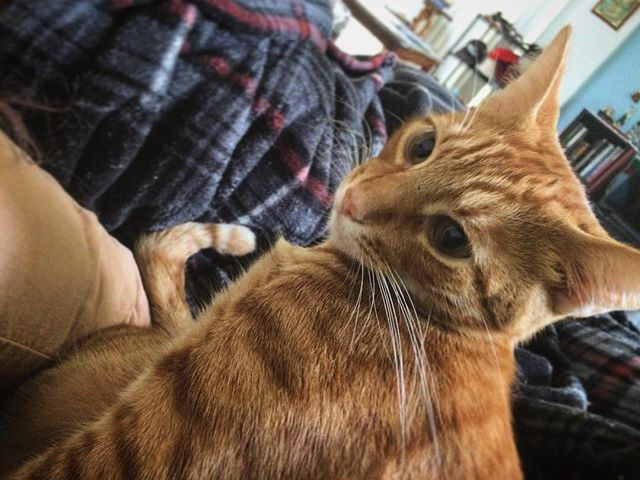 My wake up call is a loud purr in the ear-hole. . . . . #cat #catlife #catdad #catmorning #caturday #catnap #kittycat #tabbycat #catblanket