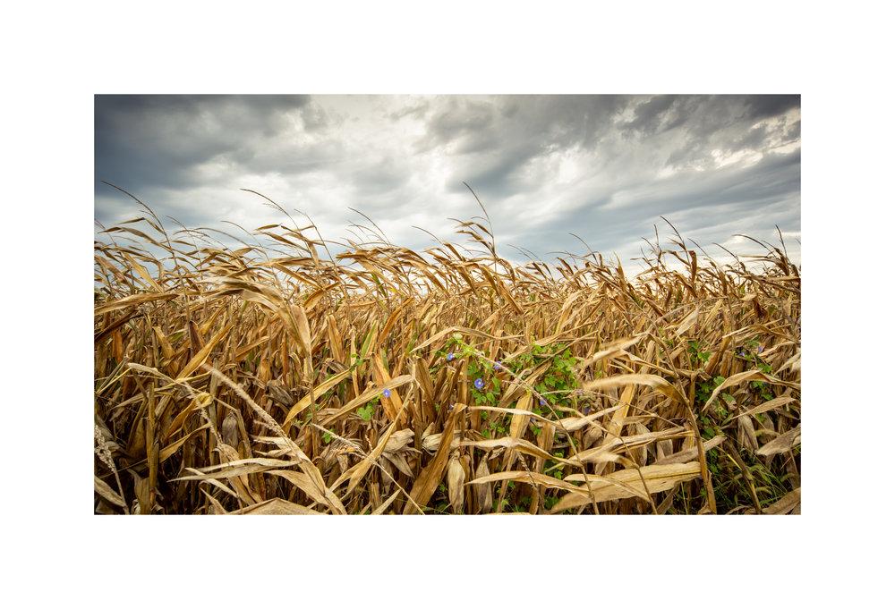 13 - Corn.jpg