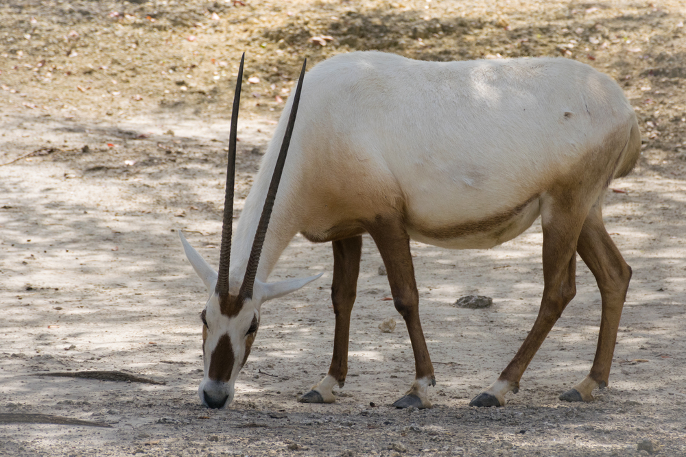 An  Arabian Oryx , just munching away.