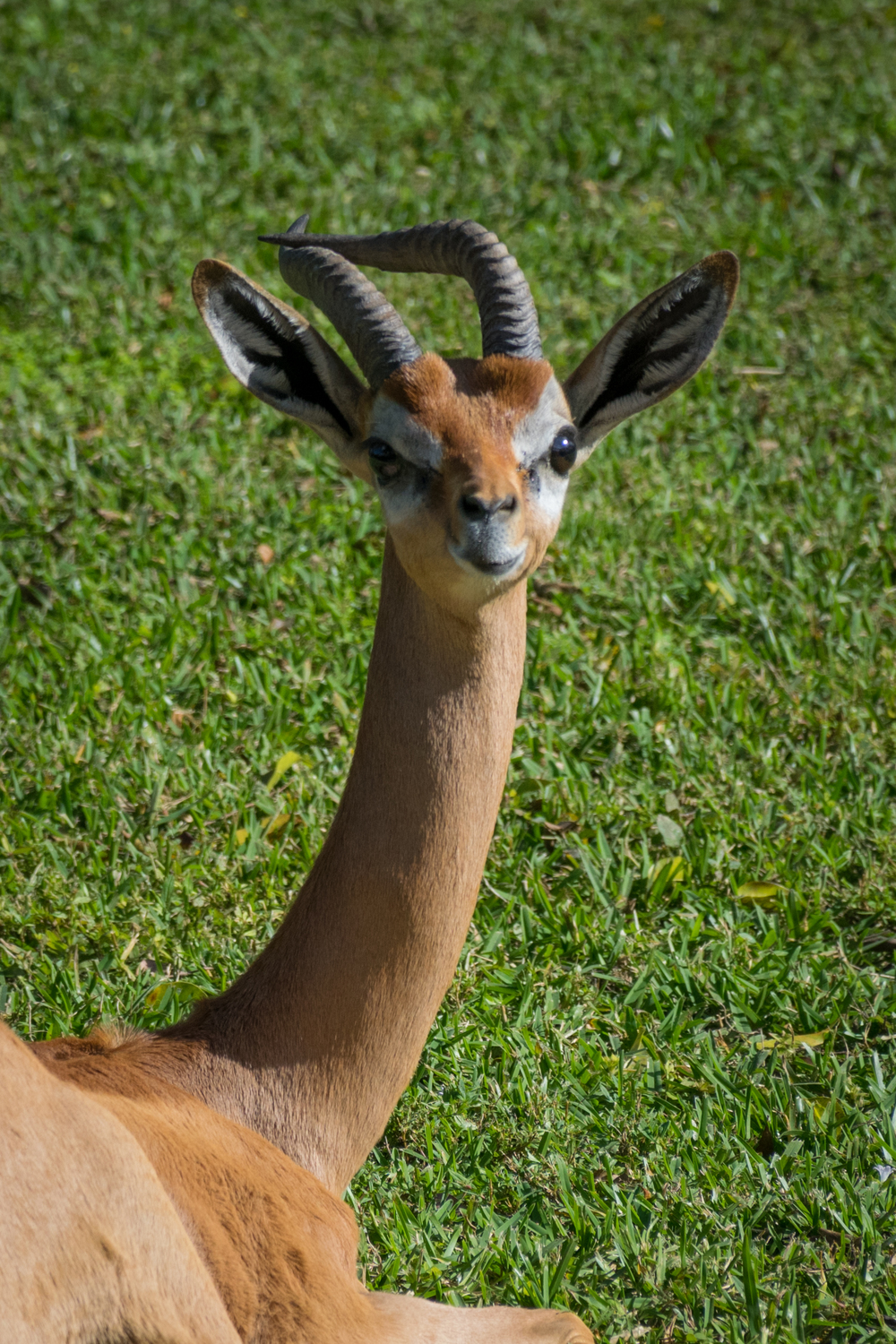 This  Gerenuk  definitely has some serious personality squeezed into that little face!