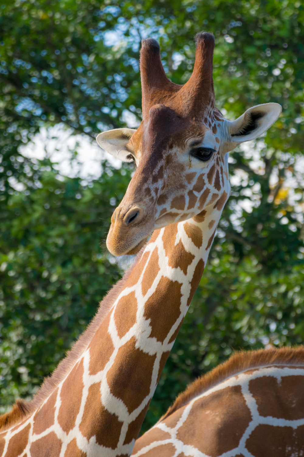 A  giraffe  posing for me