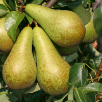 conference pears dwarffruittrees.co.uk.jpg