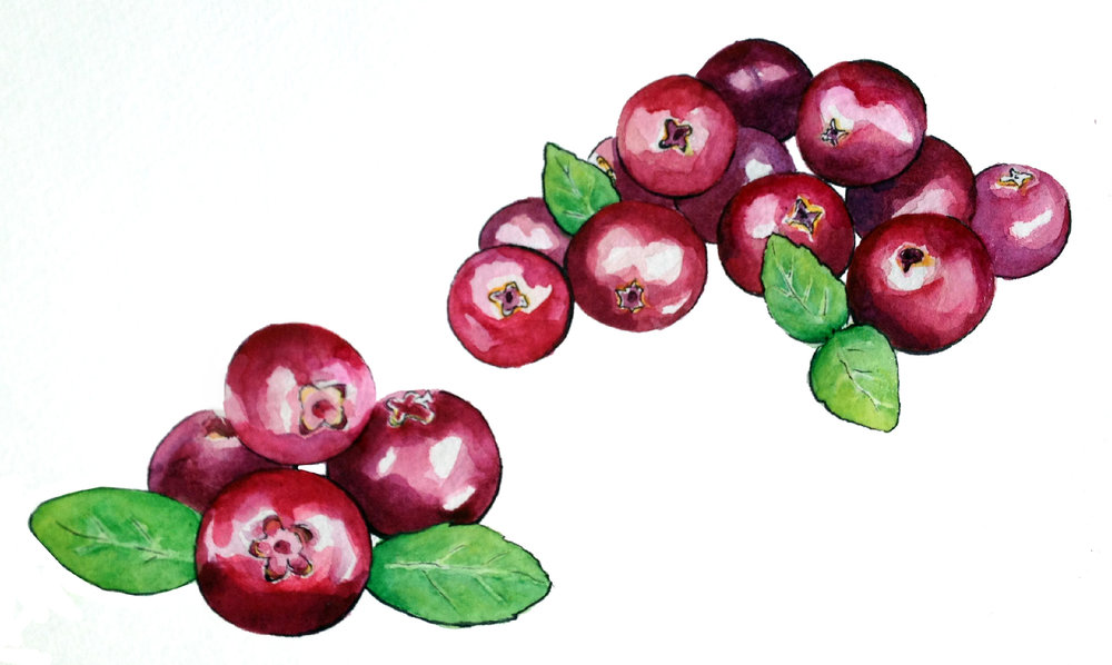 Watercolor botanical cranberry illustration by Ashley Cassandra Chase