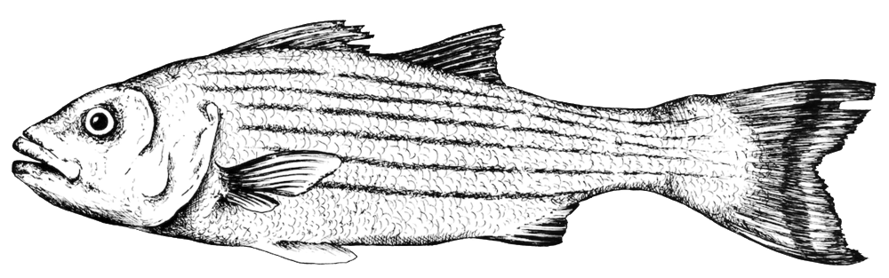 STRIPEDBASS LINEDRAWING.png