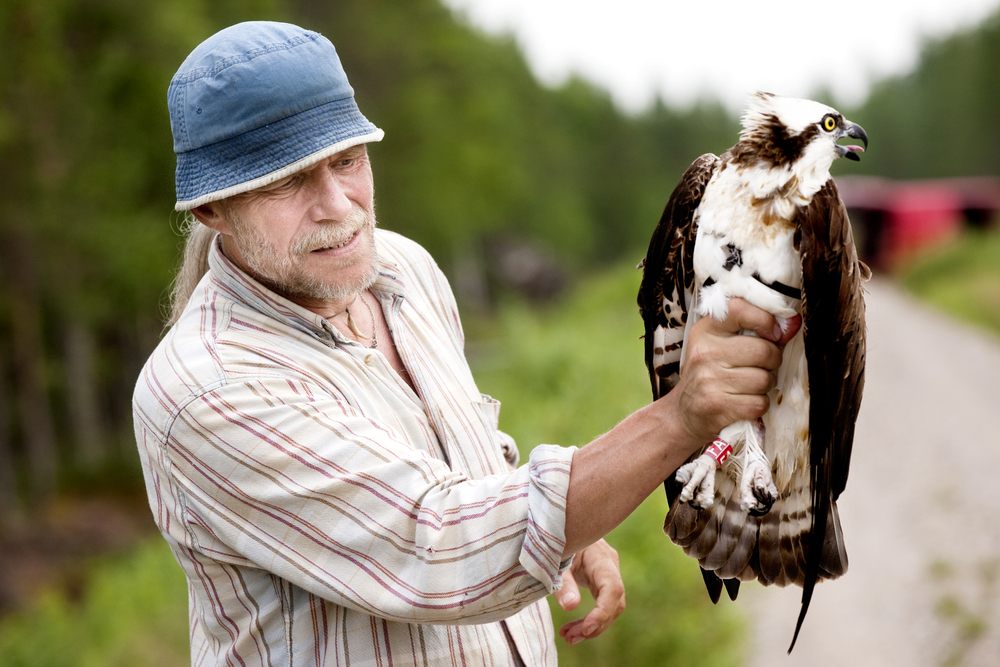 Biologists Vesa Hyyryläinen holds Osprey.  © Kainuun Sanomat
