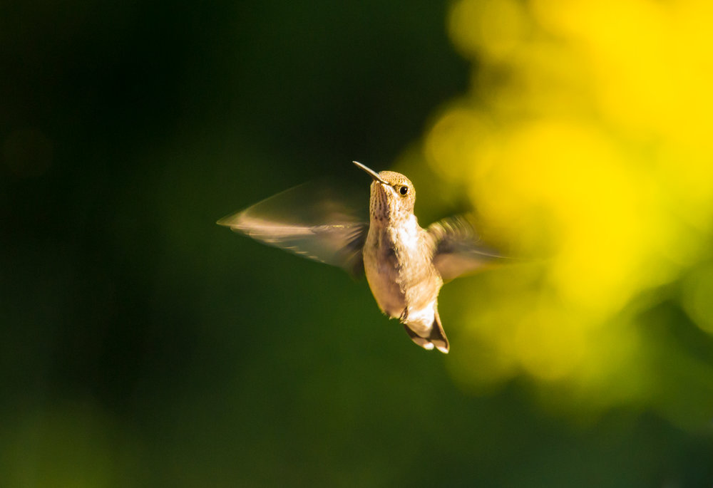 Hummingbird and Goldenrod Cloud
