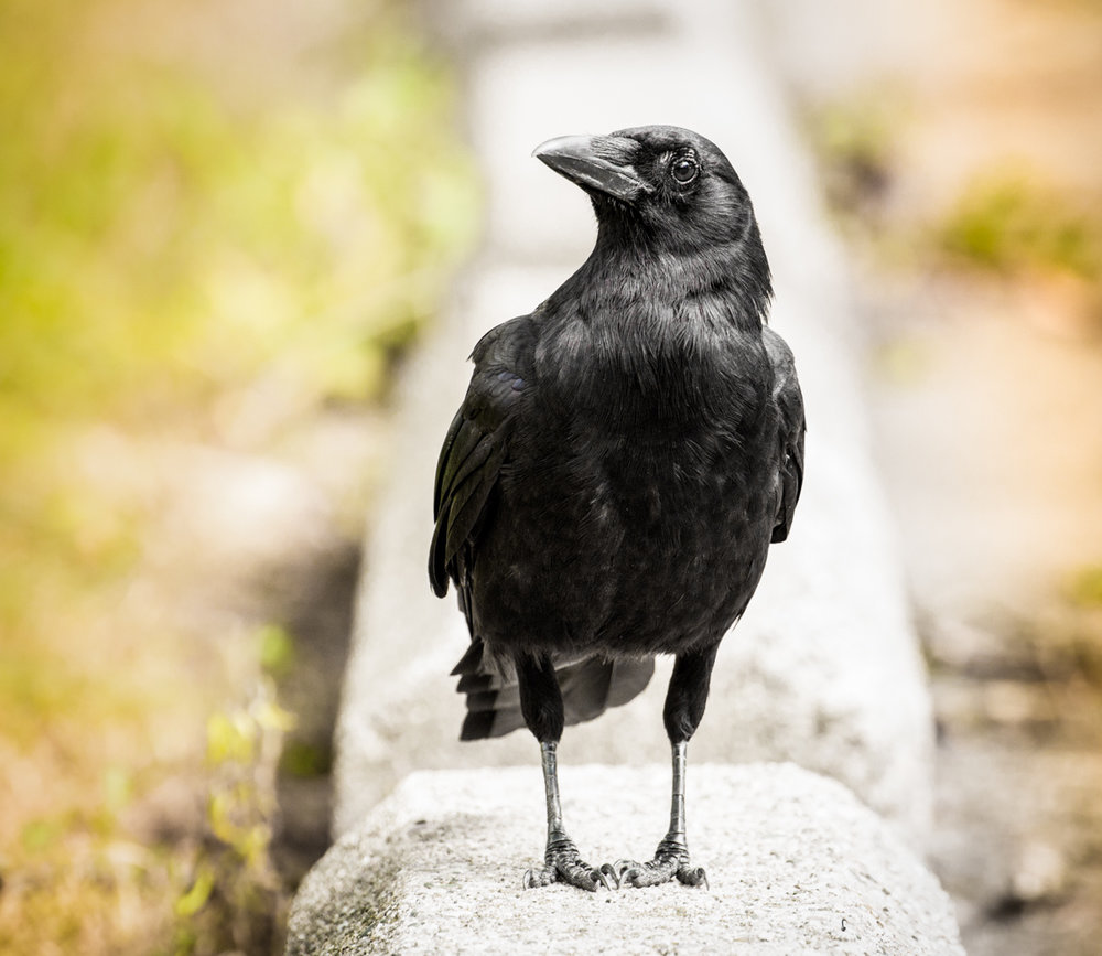 Old Friend Crow