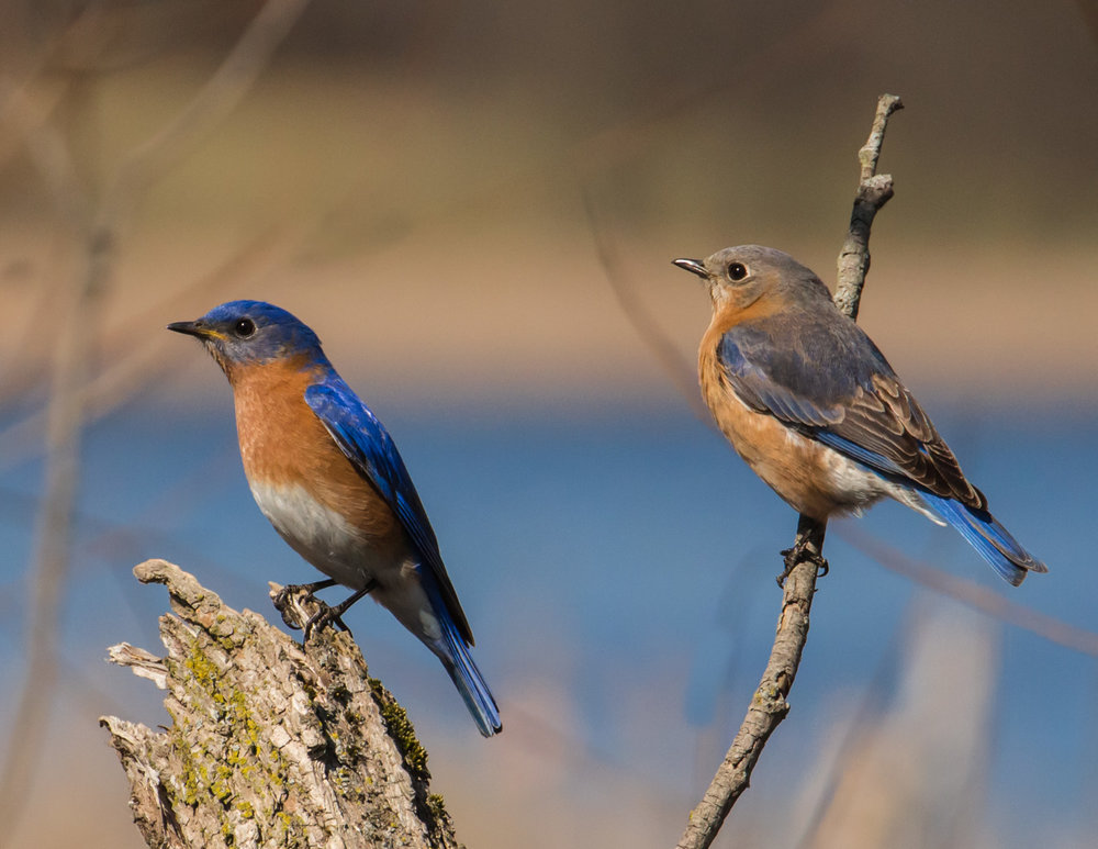 Bluebirds in Balance