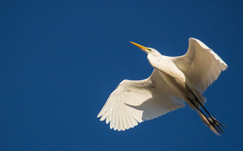 Egret in Azure Sky