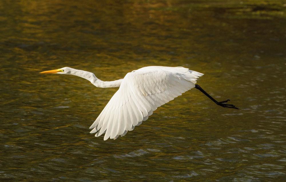 Egret over Autumn Pond