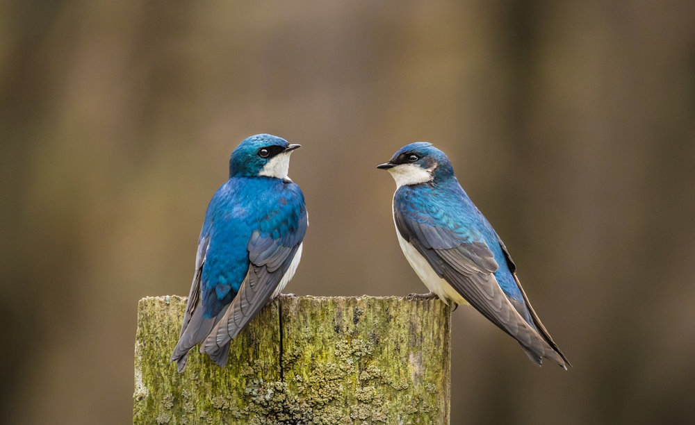 Sweet Swallows
