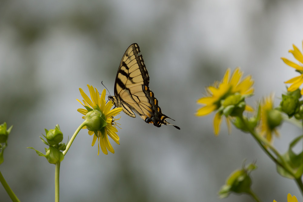 Swallowtail brings Light