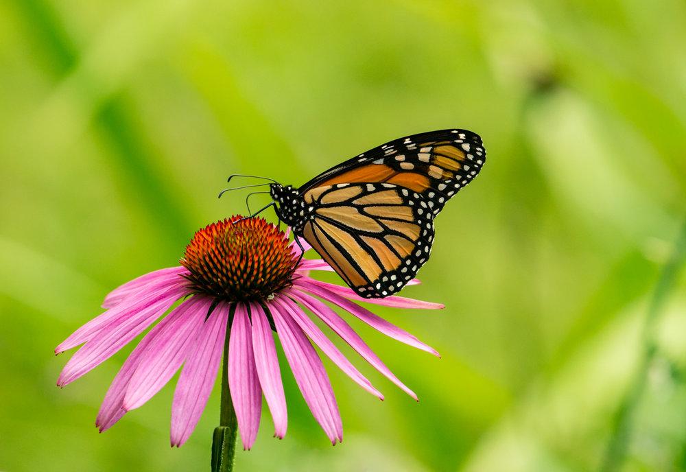 Monarch Echinacea