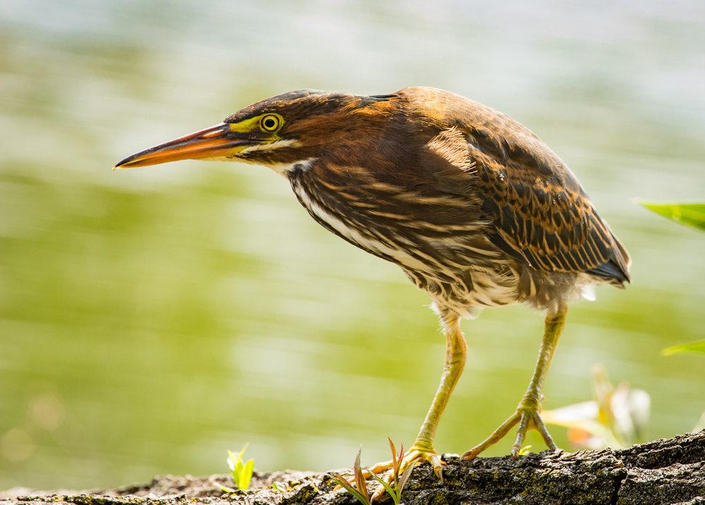 Green Heron on Log No. 1