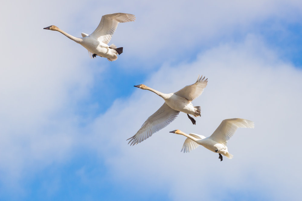 Three Swans Fly