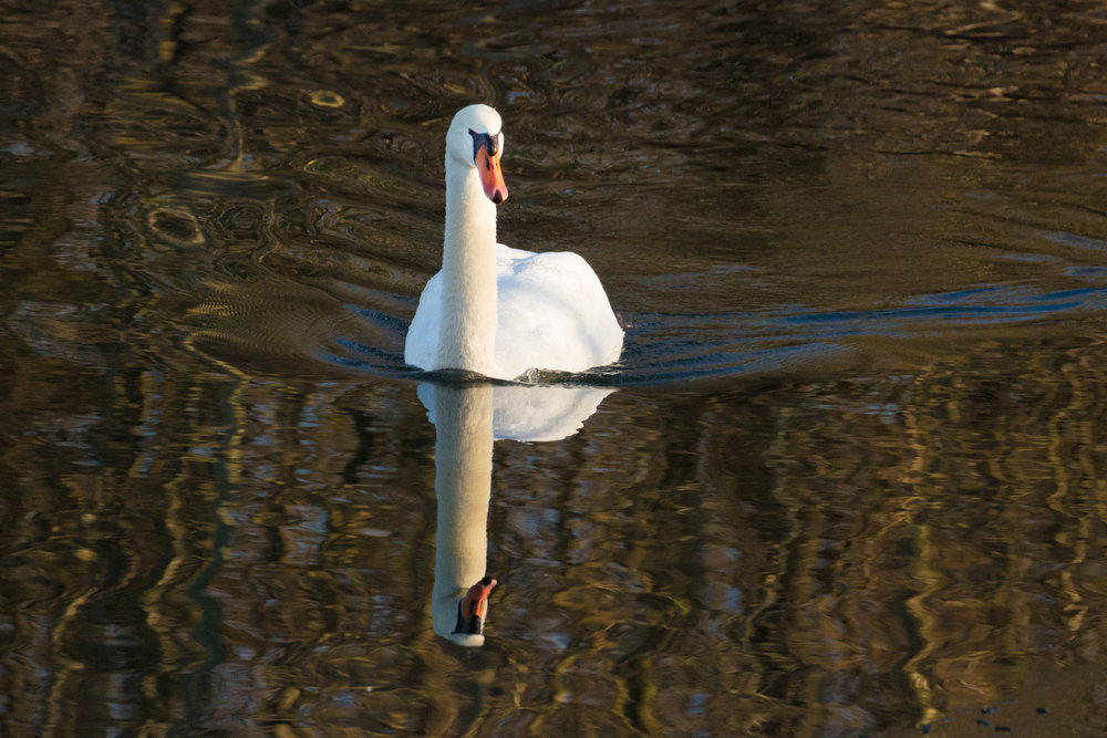 Swan in Liquid Light