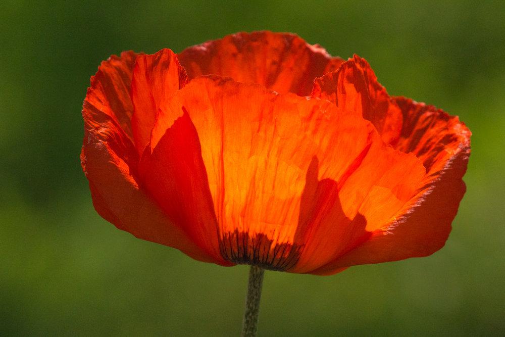 Solstice Poppy