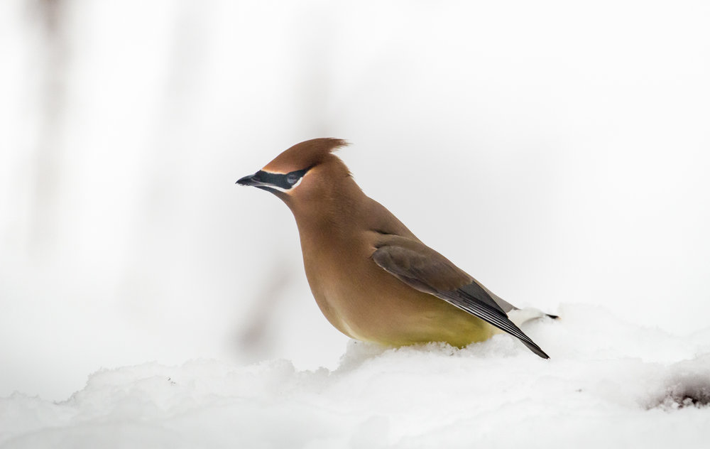 Waxwing in Snow