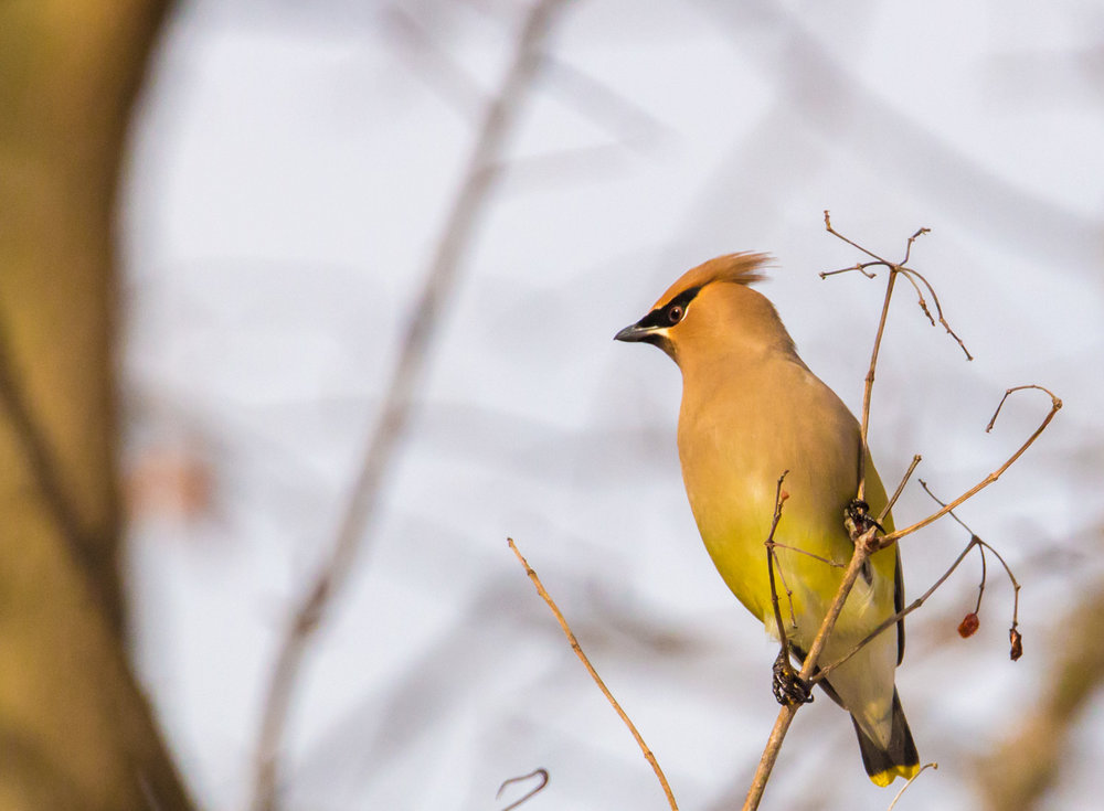 Waxwing Illuminated