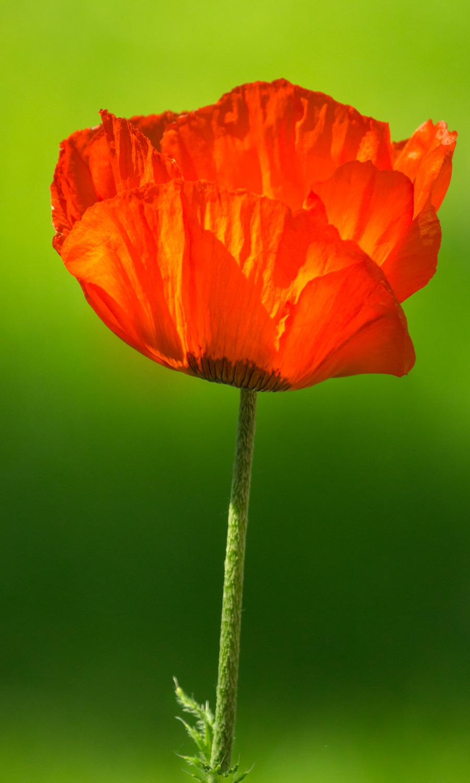 Poppy w/Green