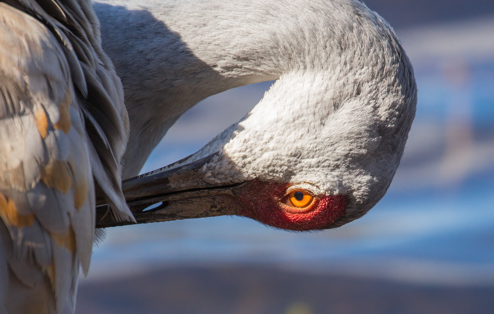 Crane With Sunlit Eye