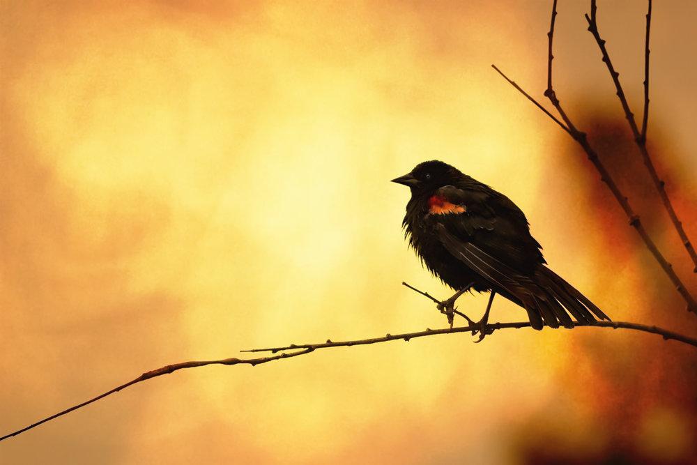 Blackbird Sun