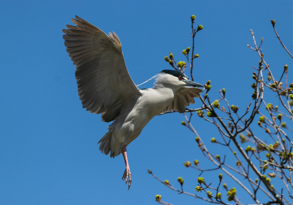 Night Heron Landing