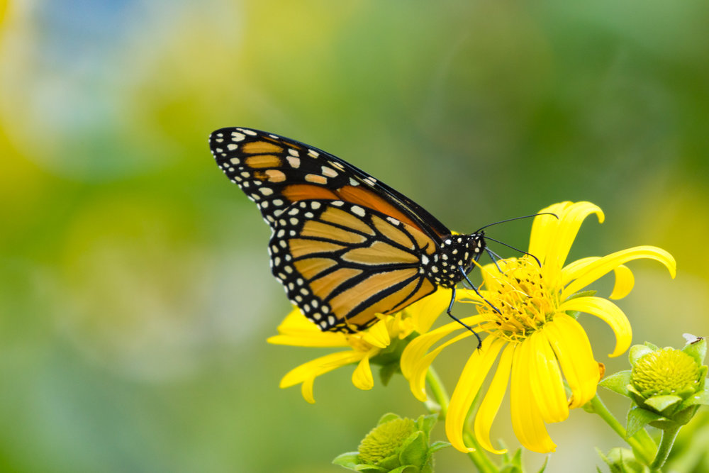 Monarch and Yellow