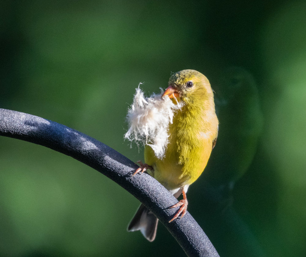 Goldfinch with MIlkweed